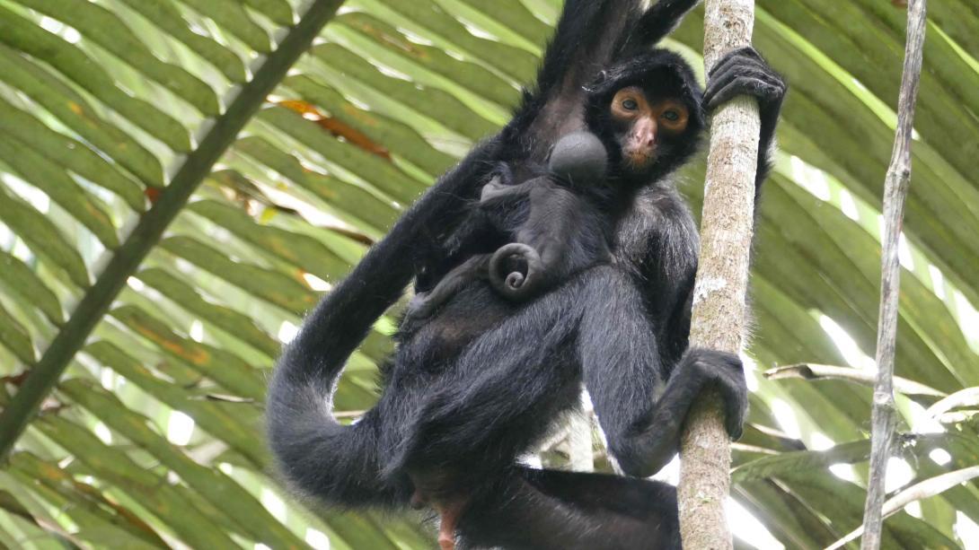 Monos araña liberados en la Selva Amazónica.